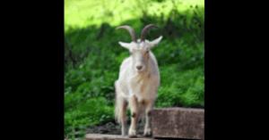 山羊のイメージ画像